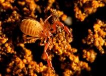Kalajengking semu, Stygiochelifer cavernae, yang banyak ditemukan di Gua Petruk, Jawa Tengah.