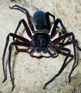 Laba-laba Heteropoda sp., sedang membawa telur di Gua Buniayu, Jawa Barat.