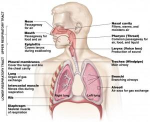 Anatomi sistem saluran pernapasan. (http://biology.slss.ie/resources/respiratory system.ppt)
