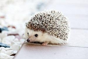 Landak yang Serupa tapi Tak Sama:  Porcupine, Echidna dan Hedgehog