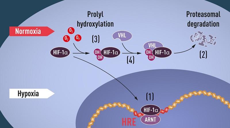 Nobel Kedokteran 2019: Adaptasi Sel terhadap Perubahan Kadar Oksigen