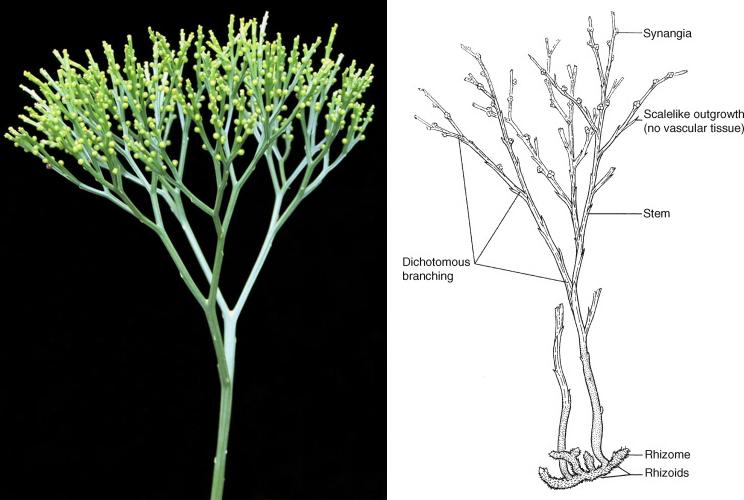 Psilotum nudum: Tumbuhan Purba yang Terancam Punah