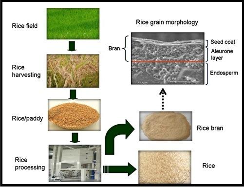 Diagram alir proses pengolahan beras dan bekatul.
