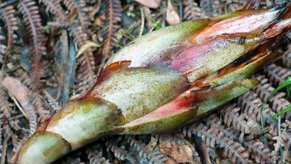 Kilau Tumbuhan Senggang (Hornstedtia reticulata) pada Anyaman Suku Dayak