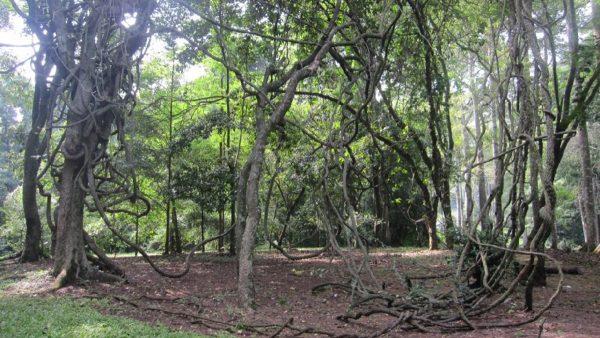 Woody Climber: Si Tumbuhan Eksotis di Daerah Tropis
