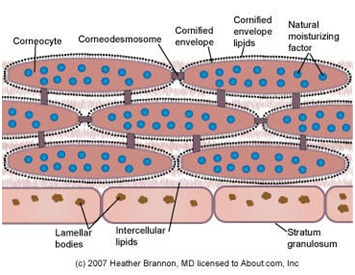 Struktur stratum corneum yang menggambarkan hubungan antara corneocyte, envelope cell, corneodesmosomes, lipid intraseluler, dan lamellar bodies. (http://dermatology.about.com/od/anatomy/ss/sc_anatomy.htm)