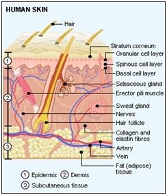 Struktur kulit manusia. (http://www.best-anti-aging-guide.com/Skin.html)