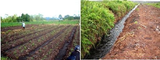 Gambar sebelah kiri menunjukkan  gambut yang belum diolah. Gambar kanan merupakan kondisi lahan gambut yang sudah diolah dan dibudidayakan. Sumber gambar: Budianta, 2003 dan dokumentasi pribadi penulis (Mulyani dkk, 2011)