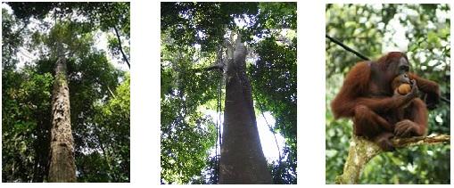 Flora dan fauna dominan pada ekosistem hutan gambut. Dari kiri ke kanan: pohon ramin, pohon jelutung, dan orang utan.  Sumber gambar: forestryinformation.wordpress.com dan id.wikipedia.org.