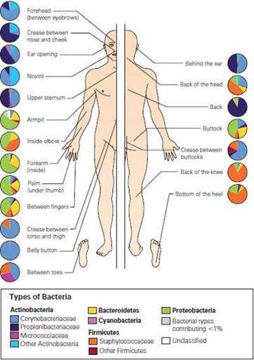 Penyebaran bakteri normal pada tubuh manusia. Sumber gambar: http://publications.nigms.nih.gov/findings/jan12/body-bacteria.asp