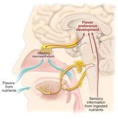Mekanisme persepsi flavor yang melibatkan indra pengecap (lidah) dan indra pencium (hidung).
