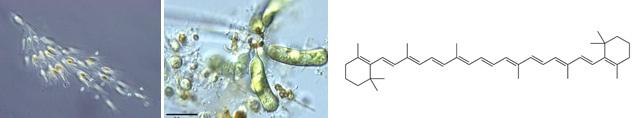 Alga emas dan alga kuning-hijau yang mengandung β-carotene didalamnya.