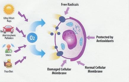 Mekanisme antioksidan dalam mengatasi oksidasi yang disebabkan oleh radikal bebas di dalam tubuh.