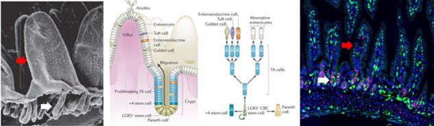 Gambaran SEM, skema dan mikroskopis jaringan usus halus. Anak panah putih menunjukkan struktur kripta Liberkuhn, sedangkan anak panah merah mengindikasikan villus. Skema menunjukkan distribusi sel usus dan ISC pada kedua struktur utama tersebut (kripta dan villus). Sumber gambar: SEM dan skema diambil dari Barker (2014), sedangkan immunofluorescence usus merupakan koleksi pribadi penulis.