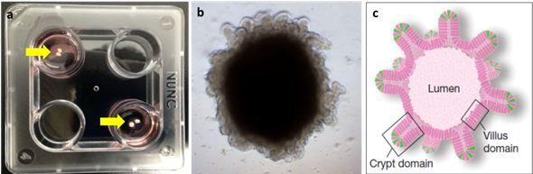 (a) Foto kultur intestinal organoid mencit hari ke-70, (b) contoh gambaran organoid dibawah mikroskop, dan (c) skema umum intestinal organoid. Sumber gambar: Gambar a dan b merupakan koleksi pribadi penulis. Gambar c diambil dari Sato dkk (2009).