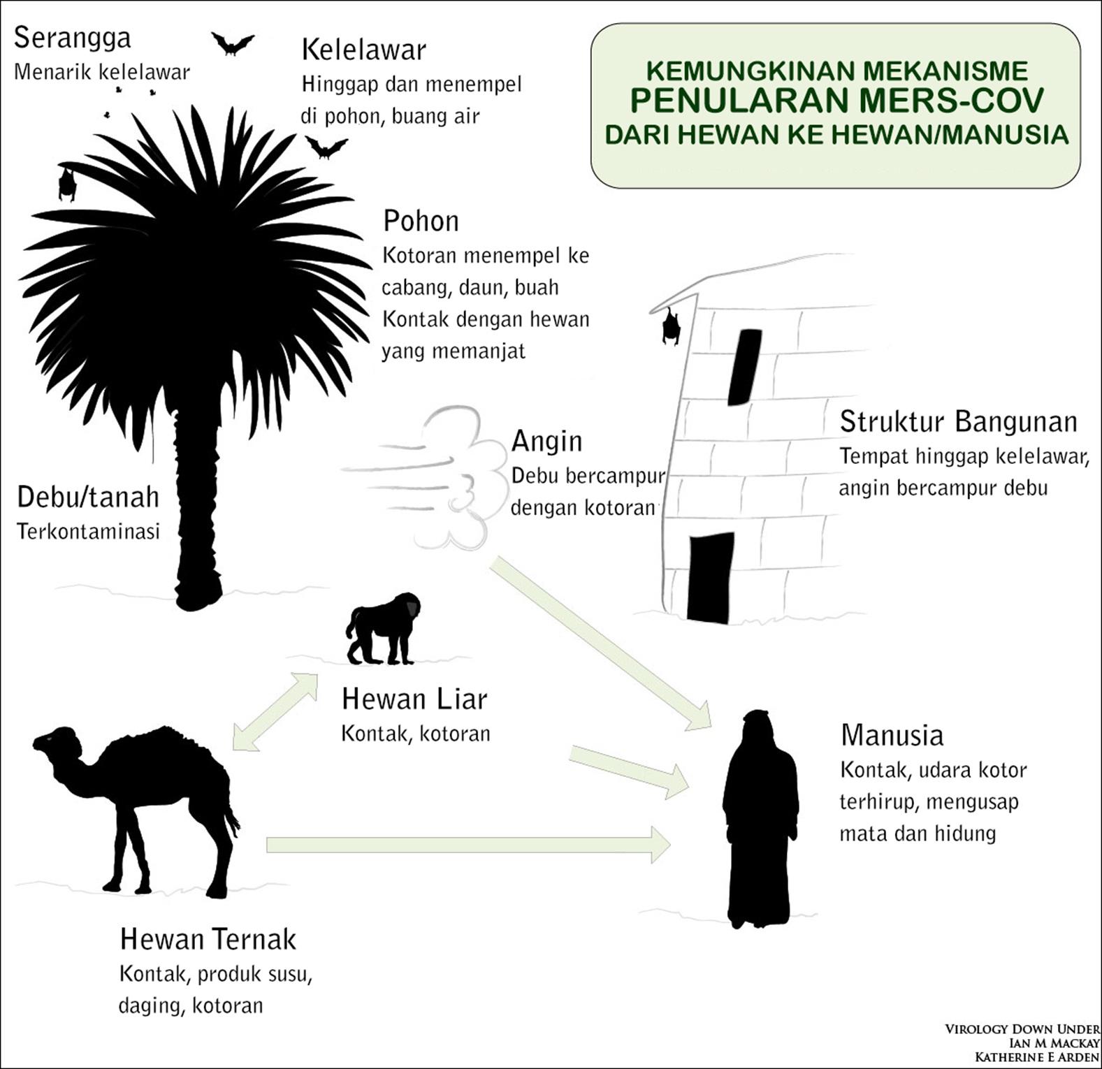 Kemungkinan mekanisme penularan MERS-CoV yang melibatkan hewan ternak dan hewan liar hingga mencapai tubuh manusia. (Sumber: Virology Down Under, http://virologydownunder.blogspot.com/)