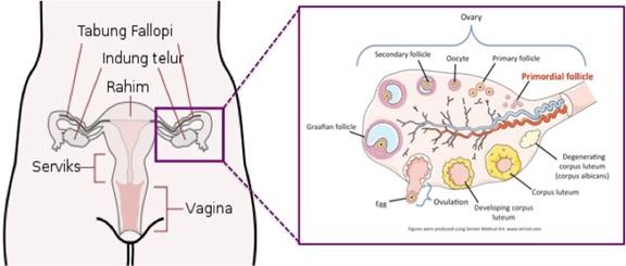 Letak dan gambaran potongan melintang ovarium. Sumber gambar: id.wikipedia.org dan repropedia.org