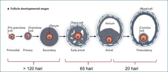 Tahapan perkembangan folikel pada ovarium manusia. Sumber gambar: Li et al., 2013, dengan beberapa modifikasi.