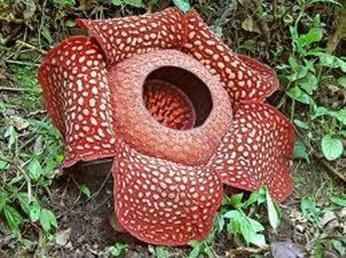 Bunga Rafflesia, salah satu keanekaragaman flora di Indonesia. Sumber: http://www.satwa.net/56/bunga-raflesia-arnoldi-bunga-terbesar-di-dunia.html