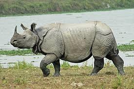 Badak bercula satu, hewan endemik Indonesia di Ujung Kulon yang terancam punah. Sumber: http://id.m.wikipedia.org/wiki/Berkas:Ujung-kulon_badak.jpg