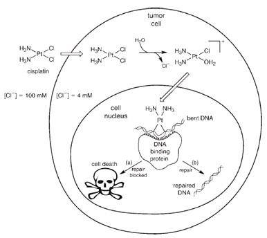 Mekanisme penghancuran tumor sel oleh cis-platin.