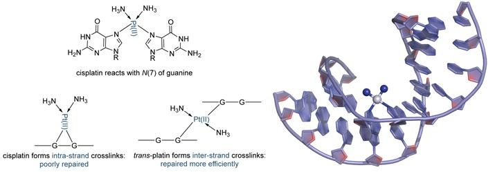 Perbedaan ikatan cis-platin dan trans-platin dengan untai DNA.