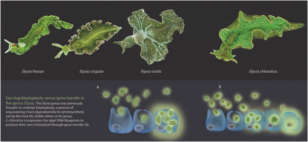 Kleptoplasty dan fenomena HGT (Horizontal Gene Transfer) pada siput laut hijau dari genus Elysia. Sumber gambar: http://www.biocreativity.wordpress.com/