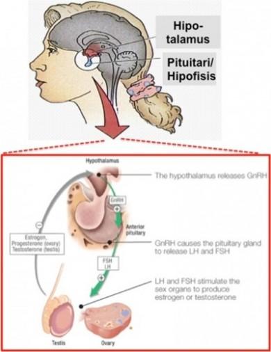 Ilustrasi fungsi GnRH. Gambar diadaptasi dari estrellamountain.edu dan lupronped.com.