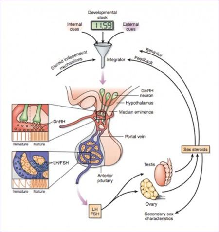 """Ilustrasi proses yang terjadi dalam tubuh saat pubertas. Pada masa tersebut, pelepasan GnRH yang lebih banyak dan organ reproduksi juga memproduksi hormon seks steroid sehingga muncul tanda-tanda reproduktif sekunder (tanda-tanda pubertas) pada tubuh, serta meningkatnya kemampuan sosial kita. Selain itu, hormon seks steroid tersebut juga akan mempengaruhi hipotalamus untuk menjaga keseimbangan pengeluaran GnRH (umpan balik negatif seperti """"loop"""" atau lingkaran). Sumber gambar: Sisk dan Foster, Nature Neuroscience (2004)."""
