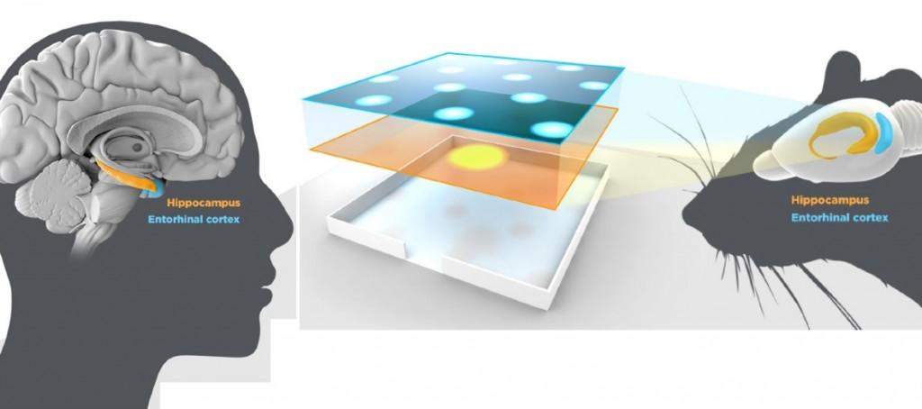 Letak sistem navigasi pada otak manusia dan tikus.