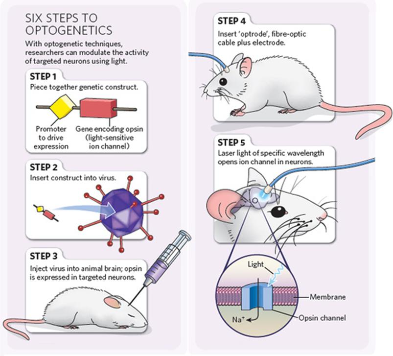 Enam langkah dalam pengaplikasian optogenetik pada tikus. Sumber: http://www.etudogentemorta.com/wp-content/uploads/2010/05/optogenetics.jpg