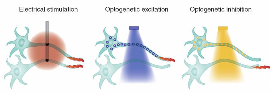Protein dari jenis yang berbeda dapat distimulasi dengan cahaya yang berbeda. Channelrhodopsin distimulasi dengan cahaya biru untuk mengeksitasi sel sedangkan halorhodopsin distimulasi dengan cahaya kuning untuk menonaktifkan sel. Sumber: http://www.nature.com/nmeth/journal/v8/n1/full/nmeth.f.324.html