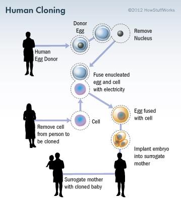 Ilustrasi proses kloning manusia (http://s.hswstatic.com/)