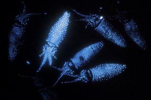 Mengenal Si Kunang-kunang Laut