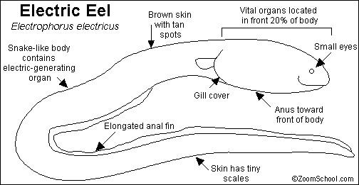 Diagram tubuh belut listrik. Sumber gambar: enchantedlearning.com.