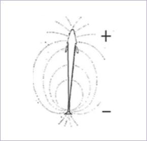 Pembentukan medan listrik di sekitar tubuh belut listrik. Sumber gambar: penelitian Milanezi dkk. (2014).
