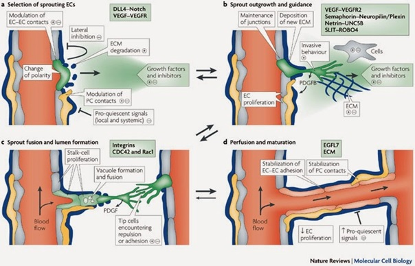 Tahapan pembentukan pembuluh darah baru dalam angiogenesis. Sumber gambar: http://www.nature.com/nrm/journal/v8/n6/fig_tab/nrm2183_F2.html.