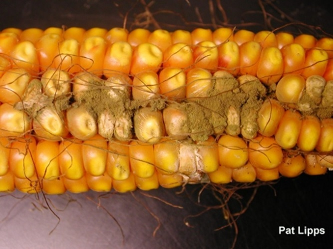 Jagung terkontaminasi fungi (gambar dari sustainablog.org).