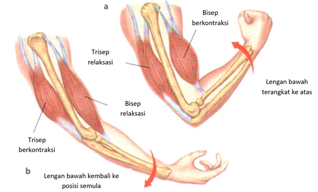 Gerak antagonis otot bisep dan trisep Sumber: http://freemedidownloads.com/wp-content/uploads/2015/05/muscle_rig_04.jpg