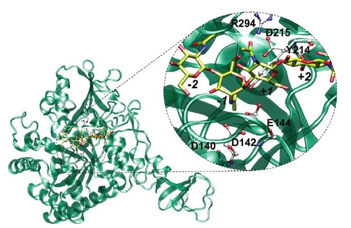 Gambar enzim -substrat S.marcesens GH18 chitinase. Gula akan terikat pada subsitus -2 dan +3 yang digambarkan dengan model stick dengan warna atom karbon kuning. Residu katalisis dan residu untuk ikatan hidrogen -1 dan +1 digambarkan dengan model stick and ball dengan warna atom karbon putih (Jitonnom dkk., 2011).