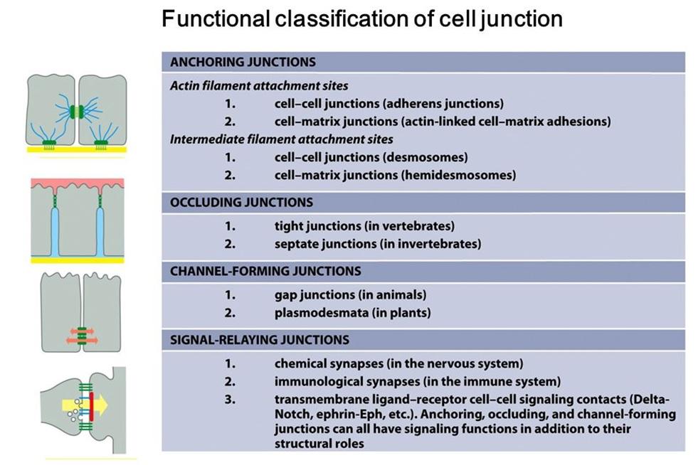 Empat klasifikasi penghubung sel berdasarkan fungsinya. Sumber: http://slideplayer.com/slide/4784117/