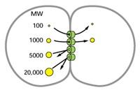 Skema sebuah percobaan untuk menentukan ukuran kanal gap junction. Dalam percobaan ini molekul berfluoresens diinjeksikan ke dalam salah satu sel di antara dua sel yang dihubungkan oleh gap junction. Molekul dengan massa kira-kira kurang dari 1000 dalton dapat melewati gap junction, sedangkan molekul dengan massa yang lebih besar tidak bisa. Sumber: Molecular Biology of the Cell 5th Edition.