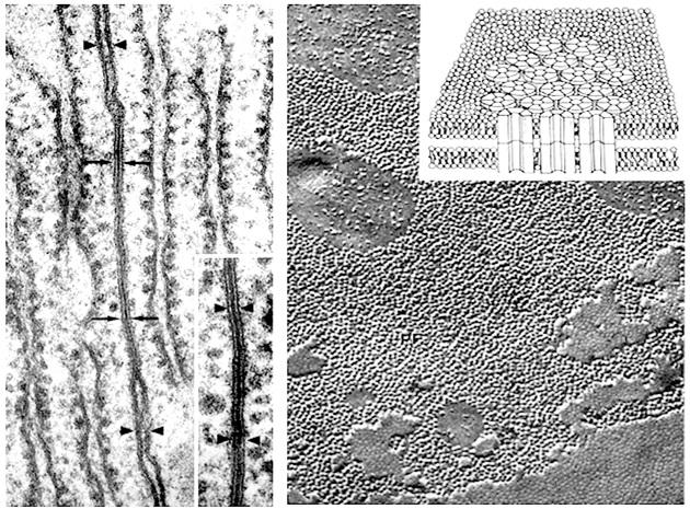 Penampakan gap junction dilihat dari mikroskop. Dari samping (kiri) dan penampakan gap junction plaque dari atas (kanan). Sumber: http://www.udel.edu/biology/Wags/histopage/empage/eep/eep5.gi
