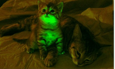 Kucing yang berfluoresensi akibat insersi GFP. Sumber gambar: https://www.theguardian.com/science/2011/sep/11/genetically-modified-glowing-cats.