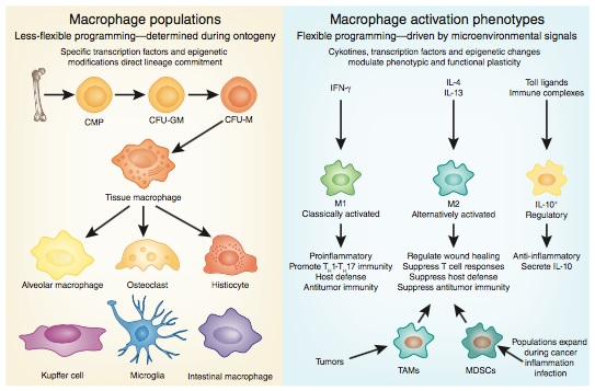 Populasi dan fungsi makrofag. Makrofag dapat dikategorikan menjadi populasi yang lebih spesifik berdasarkan lokasi anatomisnya (kiri) dan fungsinya (kanan). Berdasarkan lokasinya, makrofag dapat dibagi menjadi makrofag alveolar (paru), osteoklas (tulang), histiosit (jaringan ikat interstisial), kupfer (hati), mikroglia (otak), intestinal (usus), dsb. Sedangkan berdasarkan fungsinya, makrofag dapat dikenali sebagai M1 dan M2 seperti yang sudah kita bahas di atas tadi. Sumber gambar: Galli dkk. Nat. Immunol. (2011).