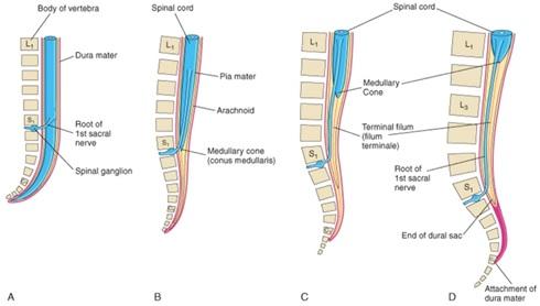 Ilustrasi sumsum tulang belakang pada beberapa tahap perkembangan (Moore dkk. 2015). Gambar A, B, C, D berturut-turut adalah gambar untuk janin berusia 8 minggu (A), janin berusia 24 minggu (B), bayi baru lahir (C), dan orang dewasa (D).