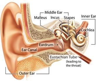 Anatomi Telinga Manusia. Penampang melintang telinga manusia yang terdiri dari telinga luar, tengah, dan dalam sebagai organ pendengaran manusia. Sumber: http://www.yorkshirehearingaids.co.uk/1-how-your-hearing-works.asp