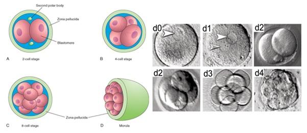Pembentukan blastomer. Gambar kiri: A-C) Proses pembelahan blastomer menjadi 2, 4 dan 8 sel; D) Kompaksi membentuk Morula. (Sumber gambar: Moore & Persaud, The Developing Human: Clinically Oriented Embryology 7th ed). Gambar kanan: Proses fertilisasi dan pembentukan zigot di hari ke-0 dan ke-1, diikuti dengan pembelahan blastomer hingga membentuk morula di hari ke-4. (Sumber gambar: Niakan et al., 2012).
