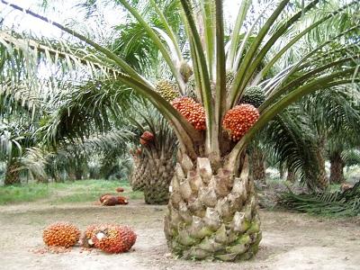 Pohon beserta buah kelapa sawit. Sumber gambar: kebunpedia.com.