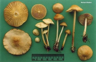 Marasmius sp. sebagai salah satu jenis jamur pelapuk. Sumber gambar: http://www.mushroomexpert.com/marasmius_oreades.html